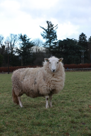 Sheep, 2018.