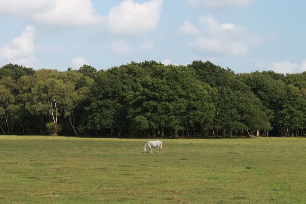 single white horse in grassy field lined by trees, the new forest